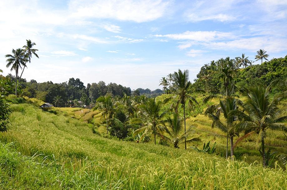 Rizières et cocotiers en Indonésie