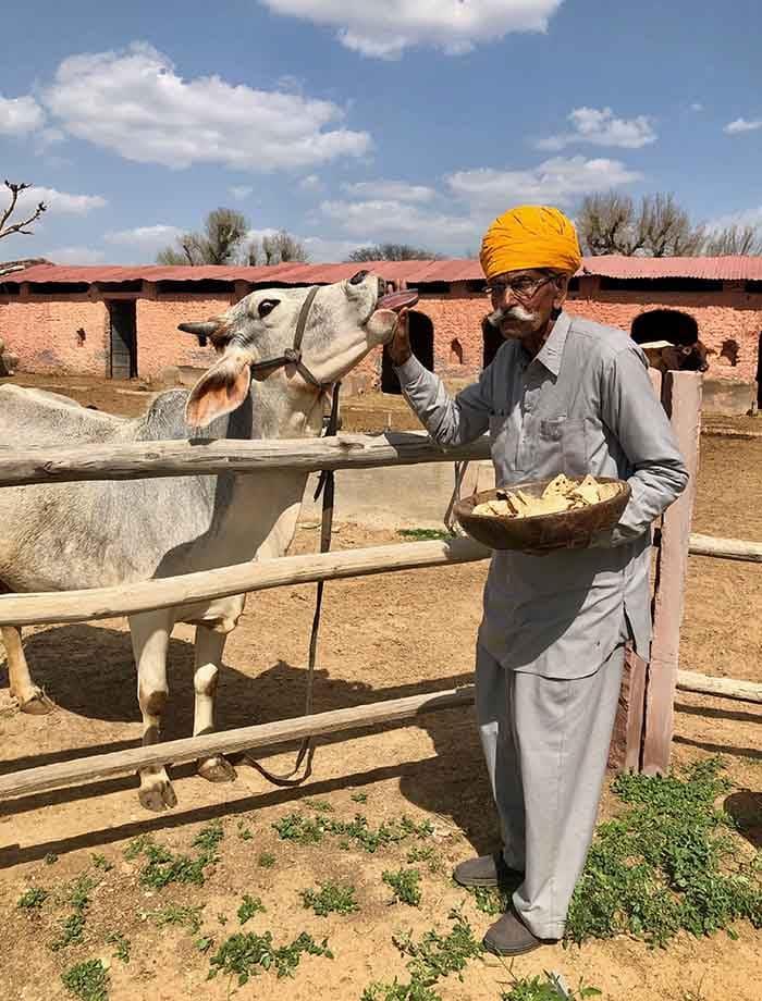 Vieil homme qui nourrit une vache au Shekhawati en Inde