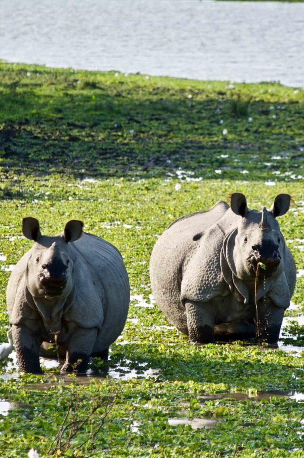 deux rhinoceros de face Kaziranga Inde