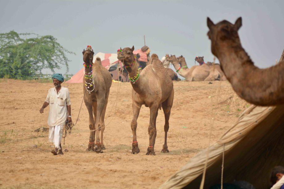 Chamelier avec 2 dromadaires au Rajasthan voyage en Inde