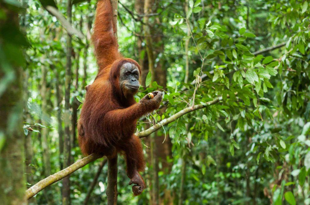 Orangoutang dans la jungle de Sumatra en Indonésie