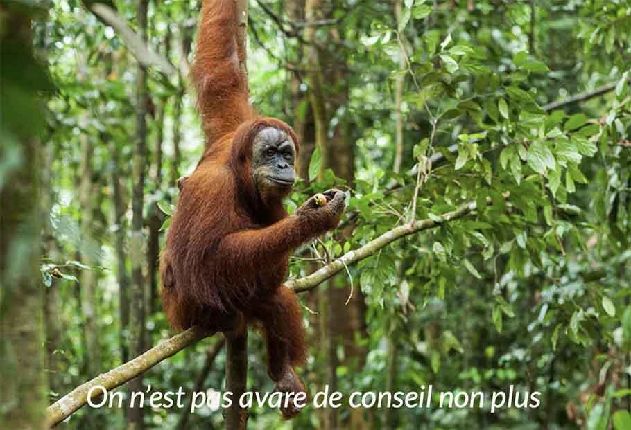 Orang Outang dans les arbres à Sumatra