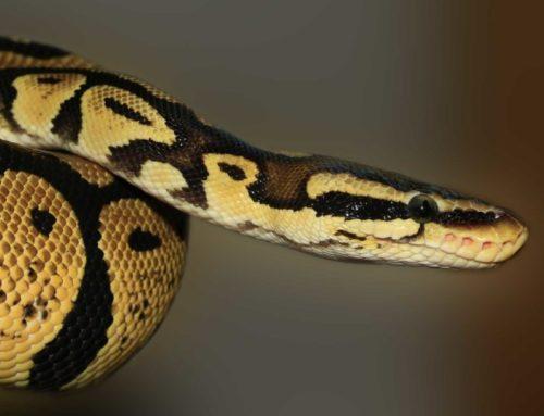 Légendes Mentawai : le secret du python qui ensorcelle les singes