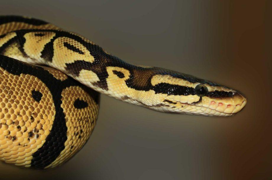 Python légendes Mentawai