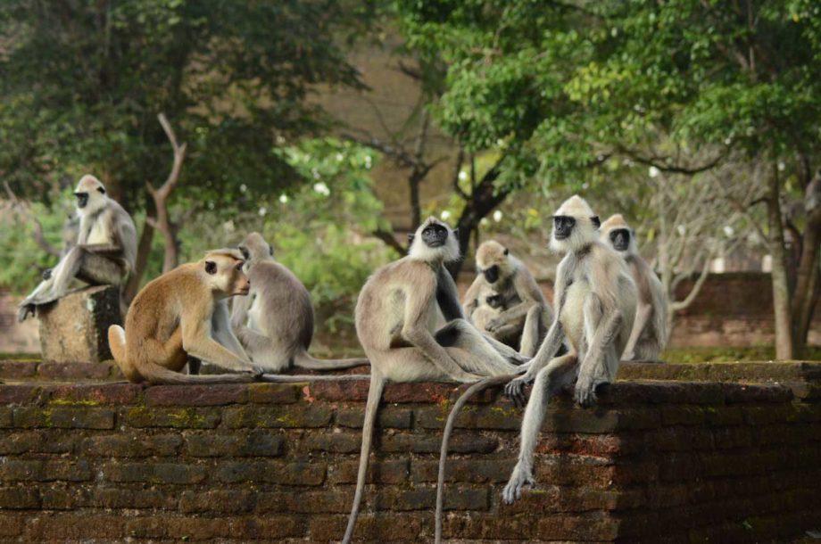 Un macaque au milieu des langurs gris au Sri Lanka