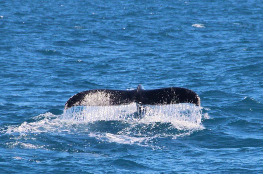 queue de baleine dans l'eau bleue Sri Lanka
