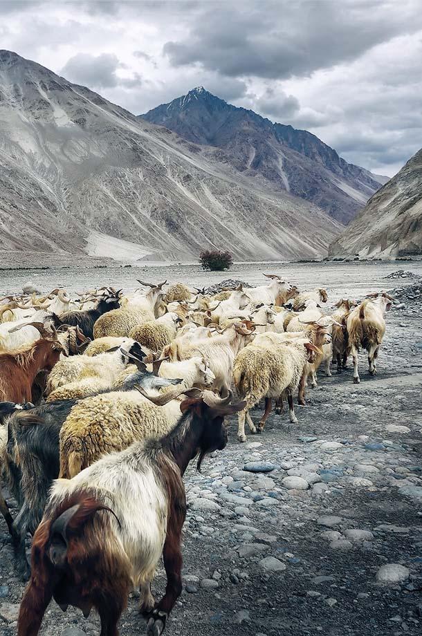 troupeau de chèvres dans l'Himalaya