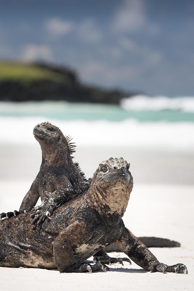 Iguanes sur une plage de sable blanc aux Galapagos